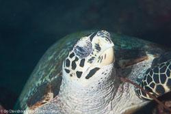 BD-130402-Tulamben-9025-Eretmochelys-imbricata-(Linnaeus.-1766)-[Hawksbill-turtle.-Karettsköldpadda].jpg